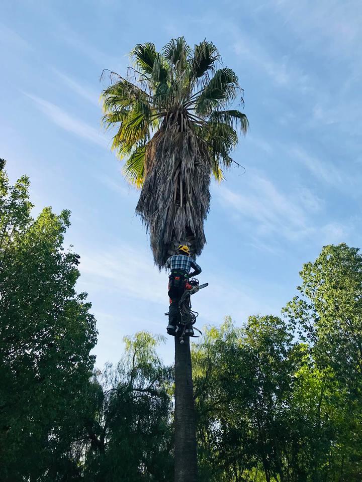 Poda y cepillado palmeras Beas